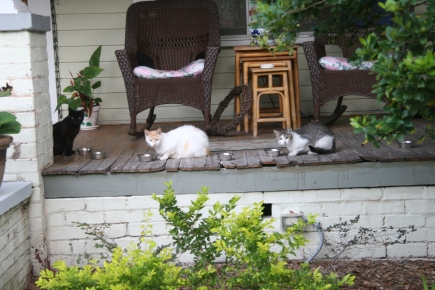 A feline trio take time to assay the sidewalk distraction as they dine alfresco on Palmetto Avenue in downtown Sanford, Florida. (Photo copyright (c) 2015 by J Kirk Richards. All rights reserved. Secondary rights granted to Bruce Jewett of Mountain View, California.)